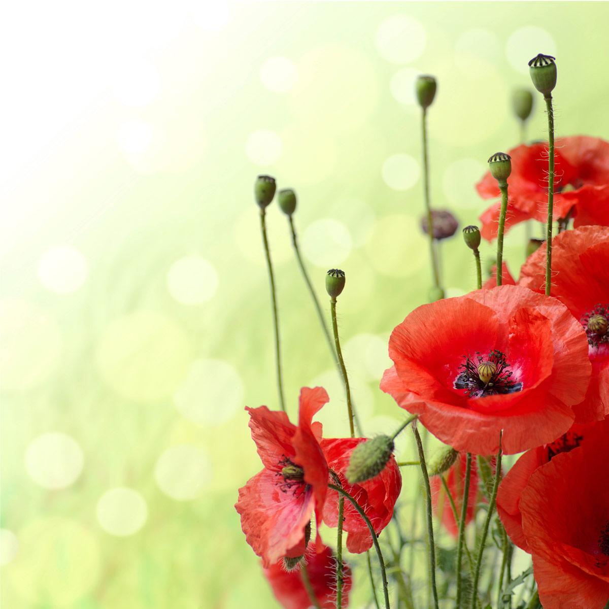 Картинки цветы красные маки
