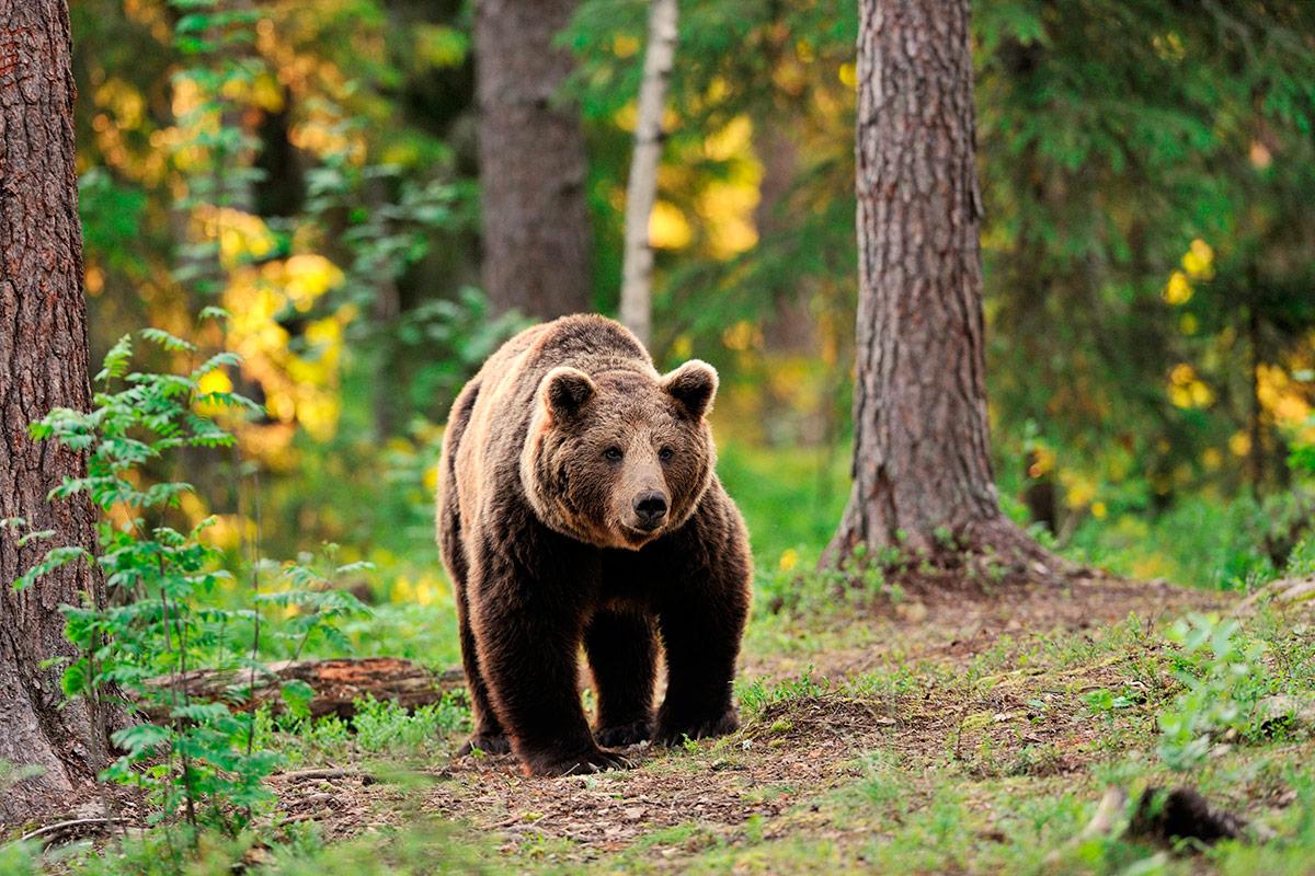 добавил, идущий медведь картинка некоторых таких